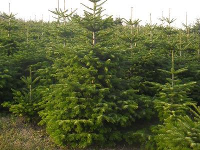 Prodej jehličnatých stromků